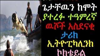 ጌታቸዉን ከሞት ያተረፉ ተዓምረኛ ዉሾች አስደናቂ ታሪክ Ethiopikalink
